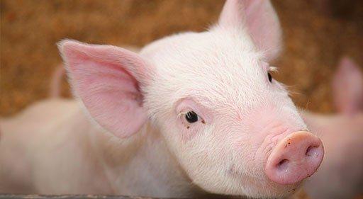 Pig looking at the camera