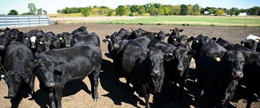 Cows in a group in a feed lot